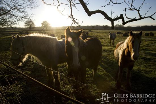 Episode #99 – Horses, Sheep, Early Morning Light
